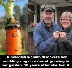 long lost wedding ring found around carrot
