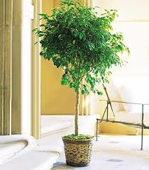 low light indoor trees herdt florist plants green plants tropical plants blooming plants