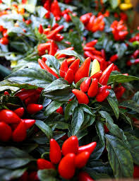 59 best peppers images on bell pepper pepper plants
