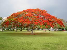 royal poinciana or flamboyant tree delonix regia flowers