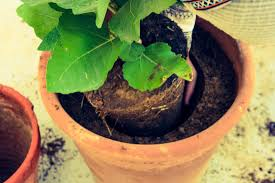 Diy Container Garden How To Transplant A Fig Tree Like A Pro Crops In Pots