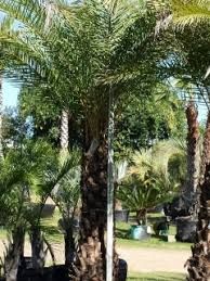 silver date palm tree for sale in houston buy