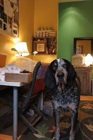 bluetick coonhound origin 56 best lacey my blue tick coon hound site images on pinterest