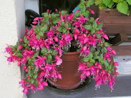 fuschia fuchsia won u0027t flower how to get fuchsia to blossom