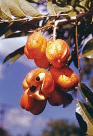 Ackee Fruit Tree - ackee plant britannica com