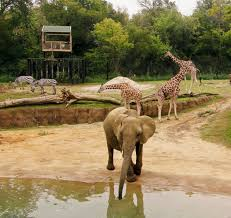 dallas zoo u0027s giants of the savanna named 3 zoo habitat in the