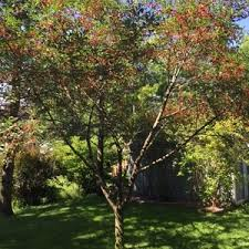 crab apple tree with mold ask an expert