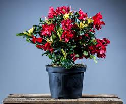 Baden Baden Weihnachtsmarkt Scharlachroter Zwerg Rhododendron Rhododendron Repens Baden