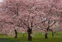 planting your own cherry tree