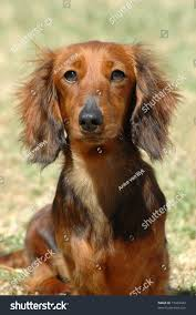 Dog In The Backyard by Beautiful Little Brown Long Haired Miniature Stock Photo 15462442