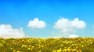 Flower Field Wallpaper - yellow flowers field walldevil