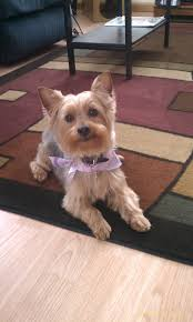 22 best ziggy haircut images on pinterest haircuts yorkie and