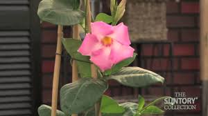 caring for sun parasol mandevilla indoors in the winter youtube