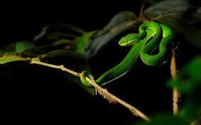 a green snake wallpapers images of 4k wallpaper snake sc