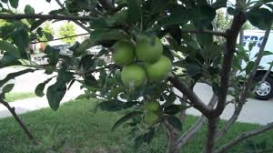 growing apples in texas backyard orchard update youtube