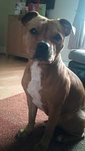 american pitbull terrier yavru 24 best staffy u0027s the best breed ever images on pinterest