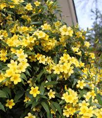 The Most Fragrant Plants - fragrant yellow blooms on an evergreen vine this jasmine variety