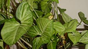 indoor vine 10 best low light houseplants that are easy to grow the self