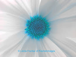 macro white daisy flower with blue center wall art nature home