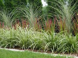 1257 best ornamental grasses images on ornamental