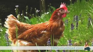 Chickens For Backyard Backyard Chickens 101 Everything You Need To Know About Laying Hens