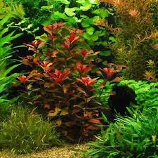 Java Moss Aquascape Ludwigia Repens