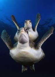 imagenes tortugas verdes tortugas verdes joaquin gutierrez fernandez flickr