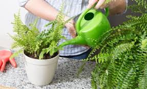 how to grow boston ferns miracle gro