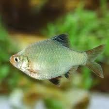 neon gold barb freshwater fish aquariums fish