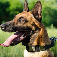 belgian shepherd health problems shepherd malinois dog collar with massive plates