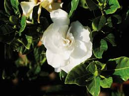 Gardenia Flower How To Care For A Gardenia Potted Plant Hunker