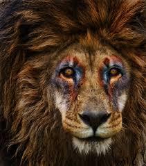 67 onz images golden lions lion