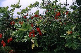 Ackee Fruit Tree - tree that feed u2013 ackee tree lilianausvat