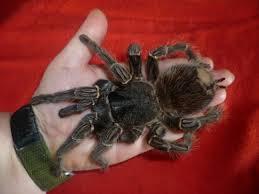 Huge Spider Memes Image Memes - big ol birdeater spiders know your meme