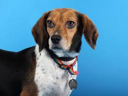 Black And Tan Beagles Pets Of The Week Shorthair Cat Coonhound Mix And A Beagle Pets