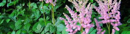 Fragrant Plants For Shade - perennial plants for shade shade perennials american meadows