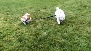 Blind Dog And His Guide Dog Hoshi The Blind Dog Has A Guide Pomeranian That Helps Him Find His