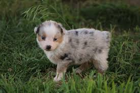 australian shepherd york heart mountain mini australian shepherds u0026 corgis home facebook