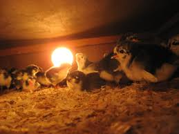 How To Comfort A Cat In Heat Managing Risk Using Heat Lamps On The Farm Cornell Small Farms