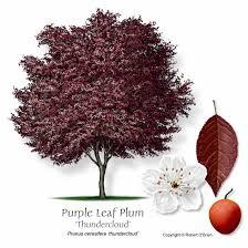 fruit tree plum prunus sp rosaceae family purple