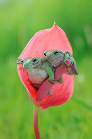1273 best frogs images on pinterest amphibians lizards and nature