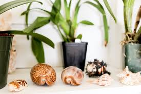how to bring a dead plant back to life how to clean seashells sea urchins and coral the florida living