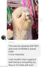 Alpaca Sheep Meme - american man has a meltdown when meeting an alpaca in peru daily