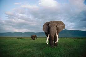 two nations show good news bad news for africa s elephants