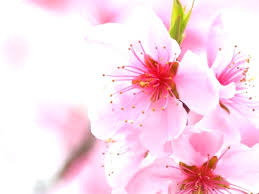 japanese cherry blossom wallpaper home pictures gallery of cherry