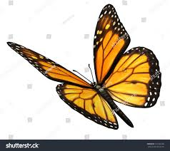 monarch butterfly isolated on white background stock illustration