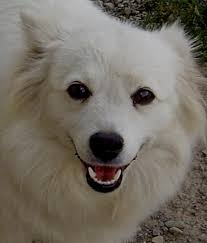 american eskimo dog intelligence 17 terbaik ide tentang miniature american eskimo di pinterest