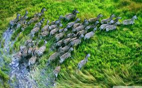 high def desktop backgrounds mac os x retina zebras hd desktop wallpaper high definition