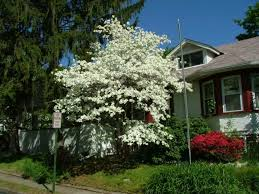 front yard with ornamental trees ornamental trees for