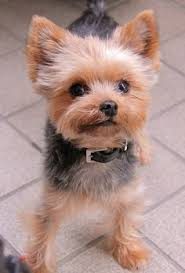 haircuts for yorkies pin by kim williams on yorkies pinterest yorkies yorkshire